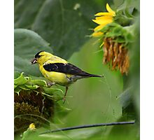 Greedy Goldfinch Photographic Print