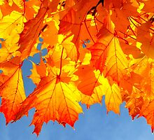 Golden maple leaves  by ©The Creative  Minds