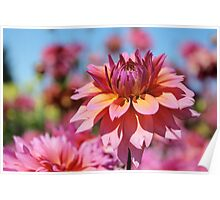 Sunset colors Dahlia Poster