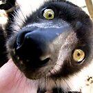 Lemur by Leeanne Middleton