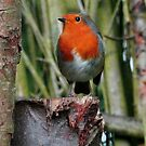 Robin Red Breast by Hovis