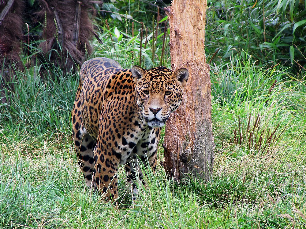Jaguar by Carol Bleasdale