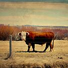 Wyoming Herford Bull  by sweetwyo