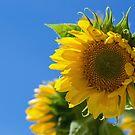 Summer Glory by Lynn Gedeon