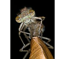 Eclosing of the red damselfly Photographic Print
