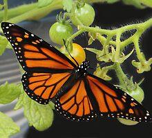 Beautiful Monarch Butterfly by vette