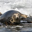 Grey Seal on Carreg y Trai - North Wales by Chris Monks