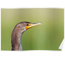 Double Crested Cormorant Close-up Poster