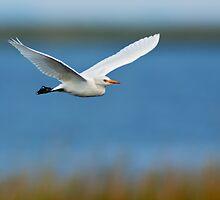 Great Egret in Flight by Michael Mill