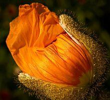 Gilded poppy bud by Celeste Mookherjee