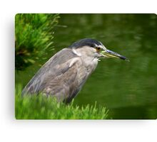 Heron watching for fish Canvas Print