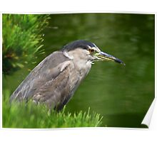 Heron watching for fish Poster