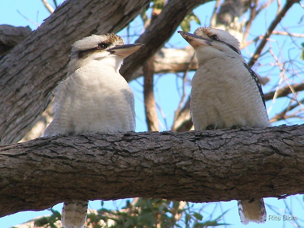 'HERE'S ANOTHER ONE WITH A CAMERA!' Kookaburras. by Rita Blom