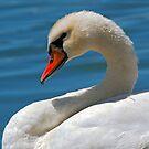 Mute Swan (Cygnus olor) by Eyal Nahmias