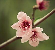 Peach Blossom by Vanessa Dwyer