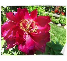 Chinese Peony Poster