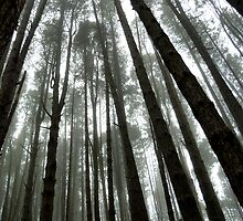 Majestic Redwoods in the Mist by ShineArt