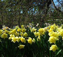 Bobbing Daffodils by MarianBendeth