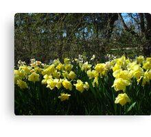 Bobbing Daffodils Canvas Print