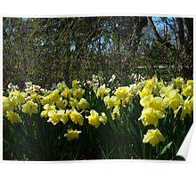 Bobbing Daffodils Poster