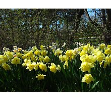 Bobbing Daffodils Photographic Print