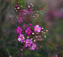 Geraldton Waxflower by sedge808
