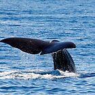 Sperm Wale - Kaikoura New Zealand by Cindy McDonald