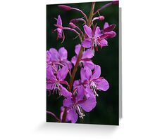 blooming fireweed, prince william sound Greeting Card