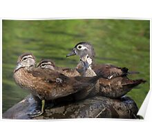 Wood Duck family Poster