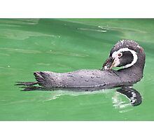 Preening Penguin Photographic Print