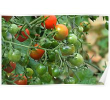 Wet Cherry Tomatoes Poster