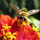 Hoverfly on a Zinnia by Irina777