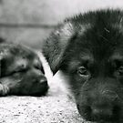 German Shepherd Pups by Lou Wilson