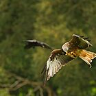Feeding Red Kite by kernuak