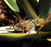 Lubber grasshopper by Irina777
