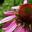 Echinacea & Bee. by Lee d'Entremont