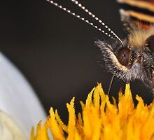 Small Tortoiseshell 3 (Aglais urticae) by Gareth Jones