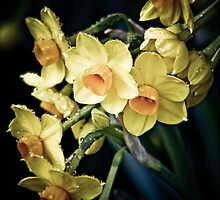 Jonquils by Tania Russell