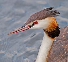 Great Crested Grebe by M.S. Photography/Art