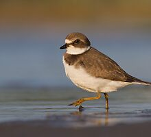 Strutting juvenile Semipalmated Plover. by Daniel Cadieux
