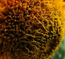 Golden Sunflower  by MarianBendeth