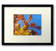 Fall Tree Looking Up Blue Sky Colorful Leaves art prints Framed Print