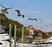 Pelicans Abound by Paulette1021