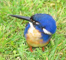 Azure Blue Kingfisher by CabrioletMan