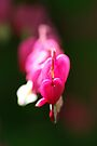 Bleeding Hearts  by Jeannie  Mazur