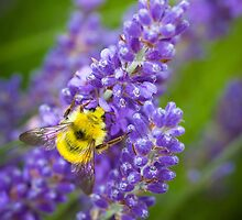 Lavender & Bumble Bee by Inge Johnsson