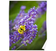 Lavender & Bumble Bee Poster