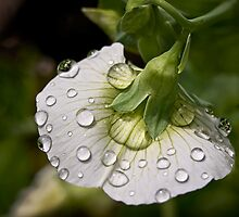 Raindrops on sweet pea by Celeste Mookherjee