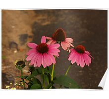 Sundown Lit Cone Flowers Poster