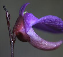 Utricularia dichotoma by andrachne